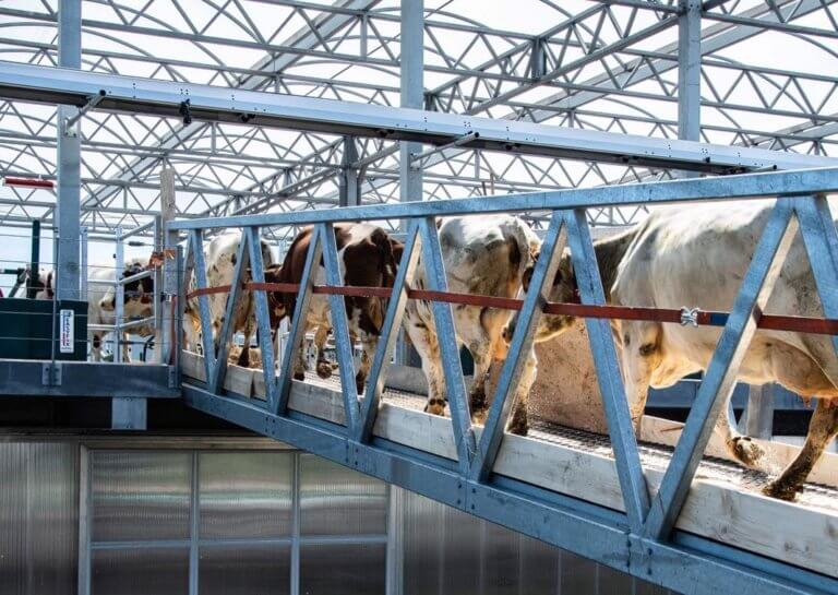 32 cows arriving at Floating Farm in Rotterdam